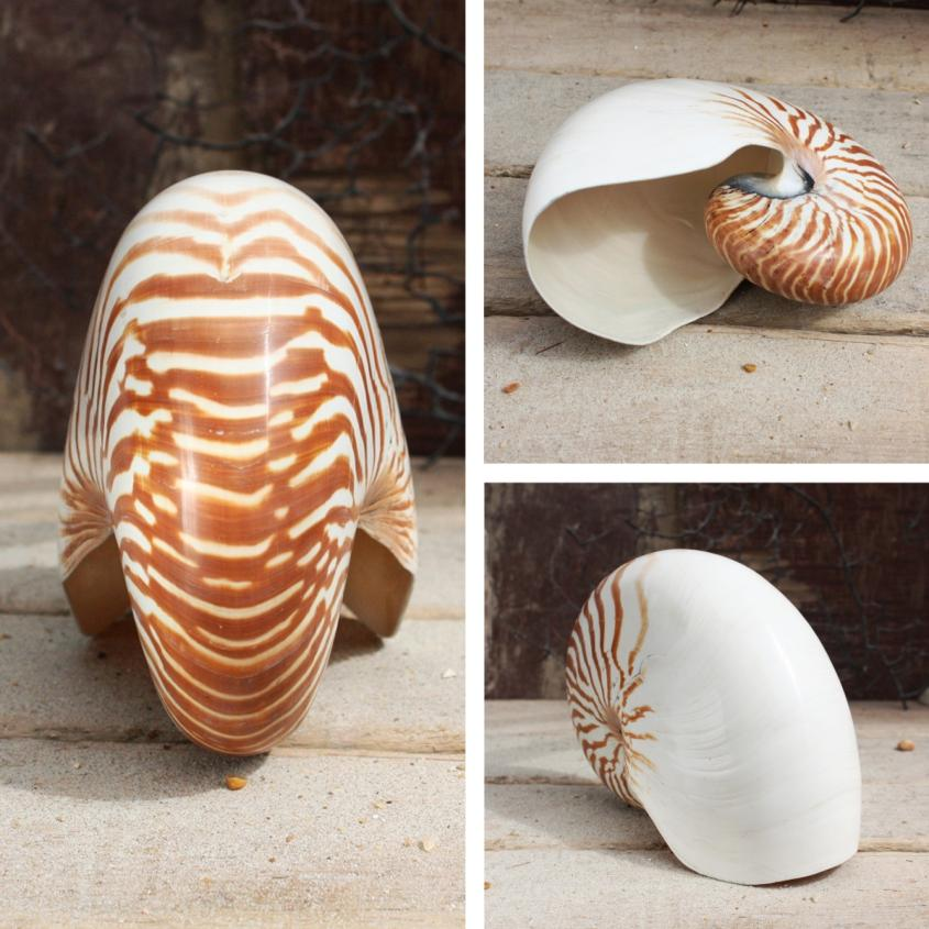 Nautilus Shell Natural Seashells Beach Shells